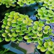 Водный папоротник - сальвиния плавающая
