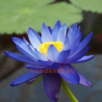 Нимфея для пруда синяя