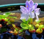 Водный гиацинт - сет 10 шт.