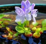 Водный гиацинт - сет 20 шт.