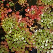 Водный каштанчик (мозаичное растение) - 10 шт