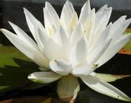 Нимфея белая крупная, махровая