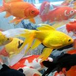 Карась средний желтый (10-12 см)