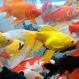 Карась крупный желтый (20-25 см)