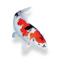 Живая рыба для садового водоема